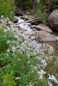 Columbine along Needle Creek, Weminuche Wilderness, Colorado