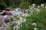 Columbine along Needle Creek, Weminuche Wilderness, Colorado