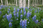 Lupine along the Dallas Trail, Mt. Sneffels Wilderness, Colorado