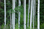 Aspen in Box Factory Park, Mt. Sneffels Wilderness, Colorado
