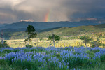 Lupine and rainbow over Cimarron Ridge, Mt. Sneffels Wilderness, Colorado