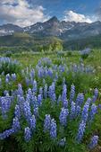 Lupine, Wolcott Mountain, Mears Peak and Peak 13,134, Mt. Sneffels Wilderness, Colorado