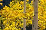 Aspen along the Dallas Trail near Box Factory Park, Uncompahgre National Forest, Colorado