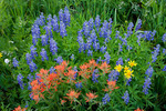 Lupine and paintbrush in Hasley Basin, Maroon Bells-Snowmass Wilderness, Colorado