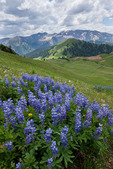 Lupine in Silver Creek Basin and Treasure and Treasury mountains at sunrise, Maroon Bells-Snowmass Wilderness, Colorado