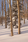 Aspen at sunset along Huntsman Ridge, proposed Hayes Creek wilderness area, White River National Forest, Colorado