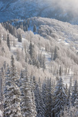 Frosted aspen along Huntsman Ridge, proposed Hayes Creek wilderness area, White River National Forest, Colorado
