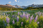 Wolcott Mountain, Mears Peak, Peak 13,134 and lupine in the Mt. Sneffels Wilderness at sunset, Colorado
