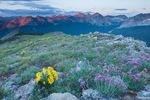 Alpine sunflowers atop Black Face at sunset, Lizard Head Wilderness, San Juan Mountains, Colorado
