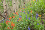 Lupine and Indian paintbrush along the Sneffels Highline Trail, near Telluride, San Juan Mountains, Colorado