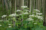 Cow parsnip and aspen along the Sneffels Highline Trail, San Juan Mountains, Colorado