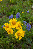 Alpine sunflowers and lupine, Shrine Ridge, near Vail Pass, White River National Forest, Colorado