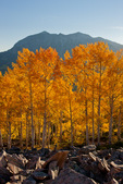 Aspen grove at sunset and East Beckwith, Kebler Pass area, Gunnison National Forest, Colorado