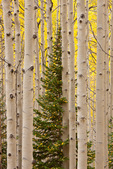 Aspen grove along the Dark Canyon trail, Kebler Pass area, Gunnison National Forest, Colorado