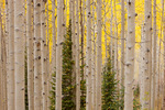 Aspen grove along the Dark Canyon trail, Kebler Pass area, Gunnison National Forest, Colorado