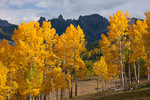 Aspen near Silver Jack Reservoir, Uncompahgre National Forest, Colorado