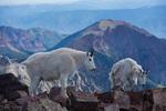 Mountain goats on the summit of 14,156-foot South Maroon Peak, Maroon Bells-Snowmass Wilderness, Colorado