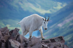 Mountain goat on the summit of 14,156-foot South Maroon Peak, Maroon Bells-Snowmass Wilderness, Colorado