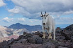 Mountain goat on the summit of 14,156-foot South Maroon Peak with Capitol Peak behind, Maroon Bells-Snowmass Wilderness, Colorado