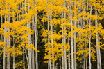 Aspen in Box Factory Park, San Juan Mountains, Colorado