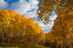 Aspen grove on top of Stealey Mountain, near Owl Creek Pass, San Juan Mountains, Colorado