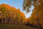 Aspen grove on top of Stealey Mountain at sunset, near Owl Creek Pass, San Juan Mountains, Colorado