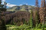 Beetle-killed Englemann spruce along Stewart Creek, La Garita Wilderness, Colorado