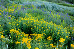 Subalpine arnica, arrowleaf groundsel, and larkspur in American Basin, San Juan Mountains, Colorado
