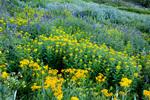 Subalpine arnica, arrowleaf groundsel, and larkspur in American Basin, San Juan Mountains, Colorado