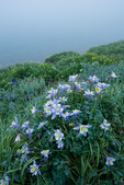 Columbine along the shore of Clear Lake, San Juan National Forest, Colorado