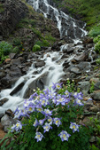 Columbine and a waterfall along Clear Creek, San Juan National Forest, Colorado