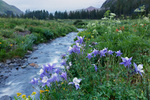 Columbine along stream in Lower Ice Lake Basin, San Juan National Forest, Colorado