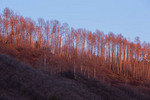 Aspen at sunset from County Road 7, Uncompahgre National Forest, Colorado