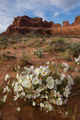 Dwarf evening primrose and the towers along Park Avenue, Arches National Park, Utah