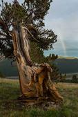Rainbow and ancient bristlecone pine, Windy Ridge Bristlecone Pine Scenic Area, on the eastern flank of Mt. Bross, near Alma, Colorado