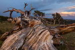 Ancient bristlecone pine at sunset, Windy Ridge Bristlecone Pine Scenic Area, on the eastern flank of Mt. Bross, near Alma, Colorado