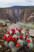 Claret cup cactus and the Narrows, Black Canyon of the Gunnison National Park, Colorado
