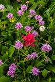 Paintbrush and Parry's clover in Vestal Basin, Weminuche Wilderness, Colorado