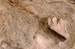 Fossilized camarasaurus skull, Dinosaur Quarry, Dinosaur National Monument, Colorado/Utah