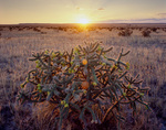 Tree cholla at sunset, Comanche National Grassland, Colorado