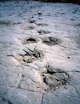 Fossilized Apatosaurus tracks, Purgatoire Canyon, Comanche National Grassland, Colorado