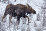 Moose along the Gros Ventre Road, Grand Teton National Park, Wyoming