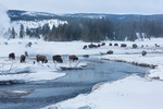 Bison along the Firehole River in Upper Geyser Basin, Yellowstone National Park, Wyoming