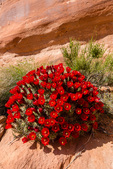 Claret cup cactus near Longbow Arch, on Poison Spider Mesa, near Moab, Utah