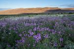 Wildflowers near Medano Creek, Great Sand Dunes National Park, Colorado