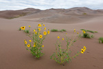 Prairie sunflowers, Great Sand Dunes National Park, Colorado