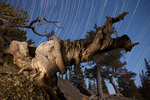 Star trails over wind-warped tree near Dream Lake, Rocky Mountain National Park, Colorado