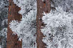 Frosted ponderosa pines atop Flagstaff Mountain, Boulder Mountain Parks, Colorado