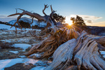 Bristlecone pine on Windy Ridge at sunrise in March, Windy Ridge Bristlecone Pine Scenic Area, near Alma, Colorado