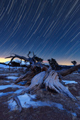Star trails over a bristlecone pine on Windy Ridge, Windy Ridge Bristlecone Pine Scenic Area, near Alma, Colorado